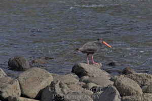 Variable Oystercatcher 6654